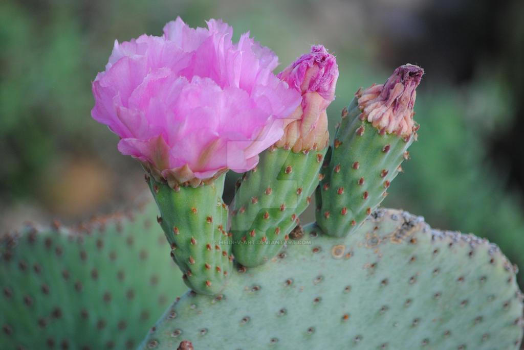 Cacti In Bloom by Heidi-V-Art