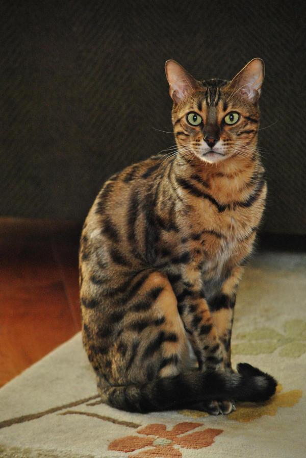 Max the Bengal Cat