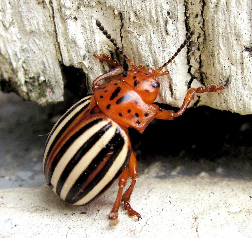 [Image: beetle_by_skater4life509-d3jee6b.jpg]