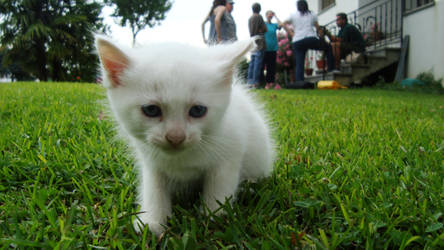 Blue Eyes White Kitten GO by NachoEgg