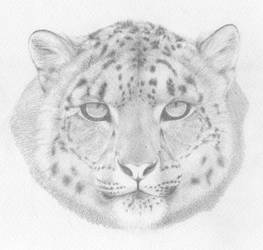 [PENCIL] Panthera Uncia