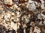 Leaves - Oak