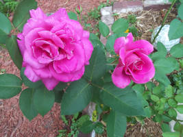 Pink Rose Stock 2 by MLArtistry