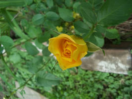 Yellow Rose Stock by MLArtistry
