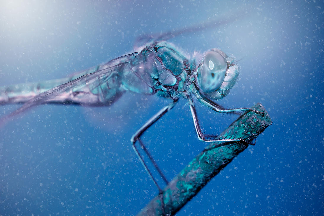 Frozen Dragonfly by imaagination