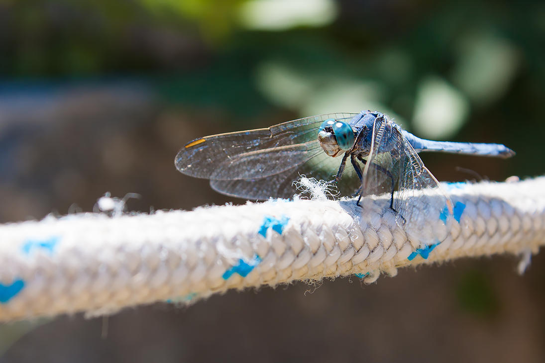Blue Dasher by imaagination