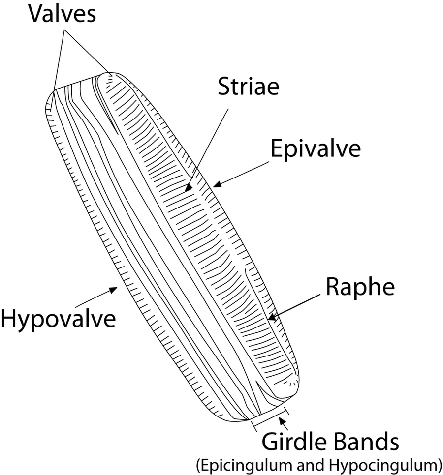diagram of a diatom diagram of a diatom