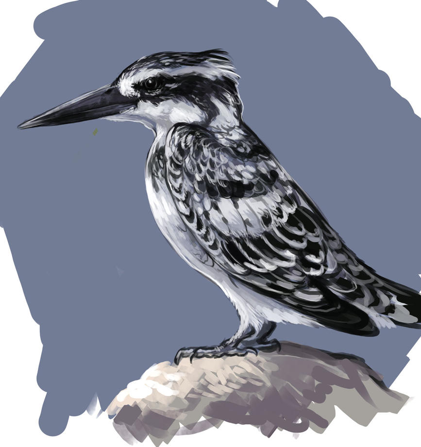 Pied Kingfisher by saeto15