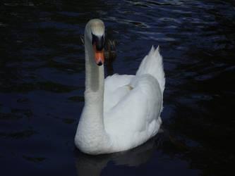 Killarney Swan by BlueLeaf93