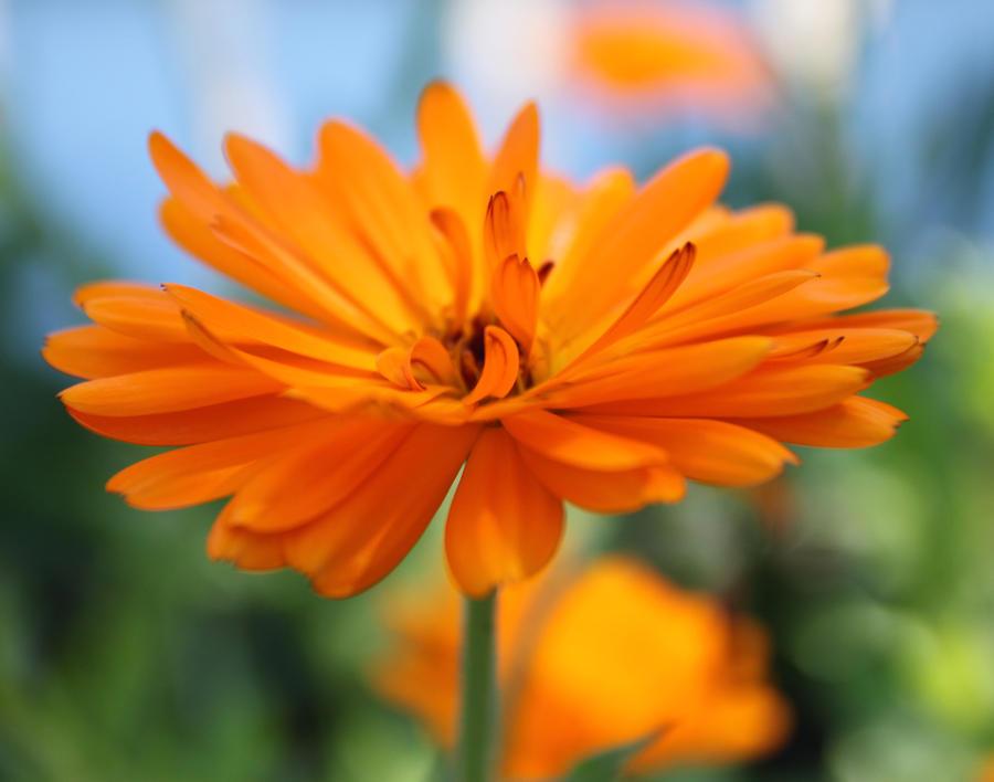 Orange Flower 2