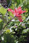 Pink Indian Paintbrush