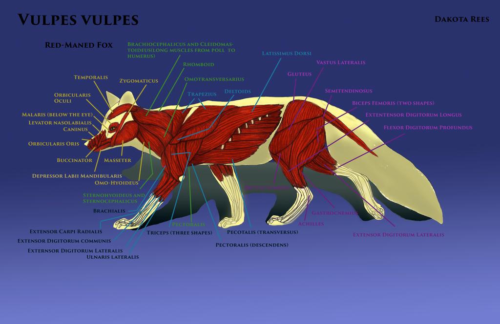 Fox Muscles By Aquametaldragon On Deviantart