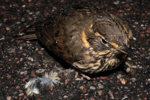 BIRDY V2 by TANTTA69