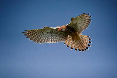 Hunting Kestrel by eavandijk