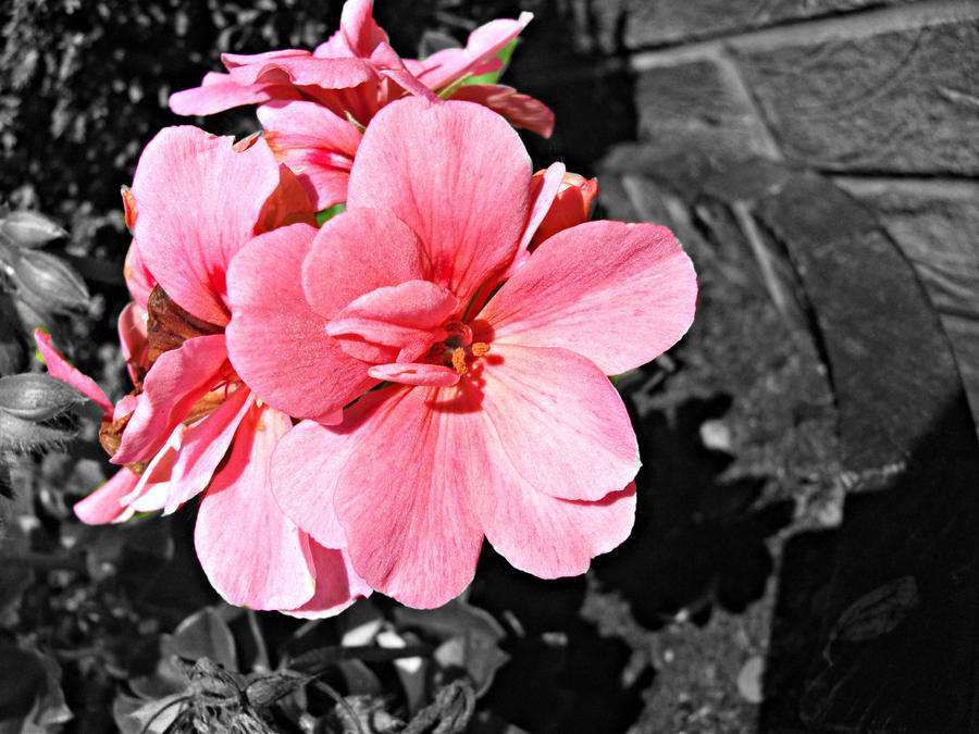 Pink Flower With Black And White Background By Roseofdoom26