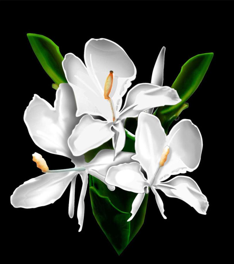 Hawaiian White Ginger Flower Photoshop flowers white ginger