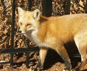 Lazy Fox by CWOKRAKEN