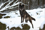 Black Timberwolf 1