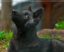 Timberwolf Pup4 by Khalliysgraphy