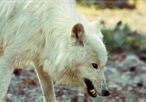 White bad Wolf by Khalliysgraphy