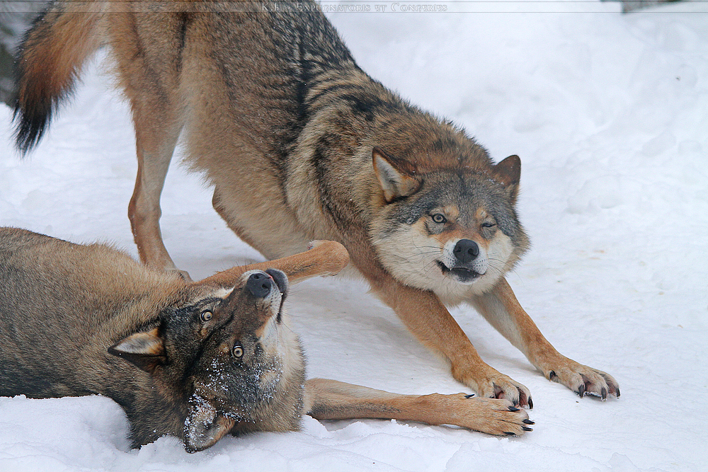 WOLVES: Communication Ronja_and_laika___playful_6_by_khevyel-d35vhkr