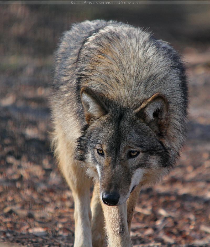 Timber Wolf Mix Timberwolf mix 2 by