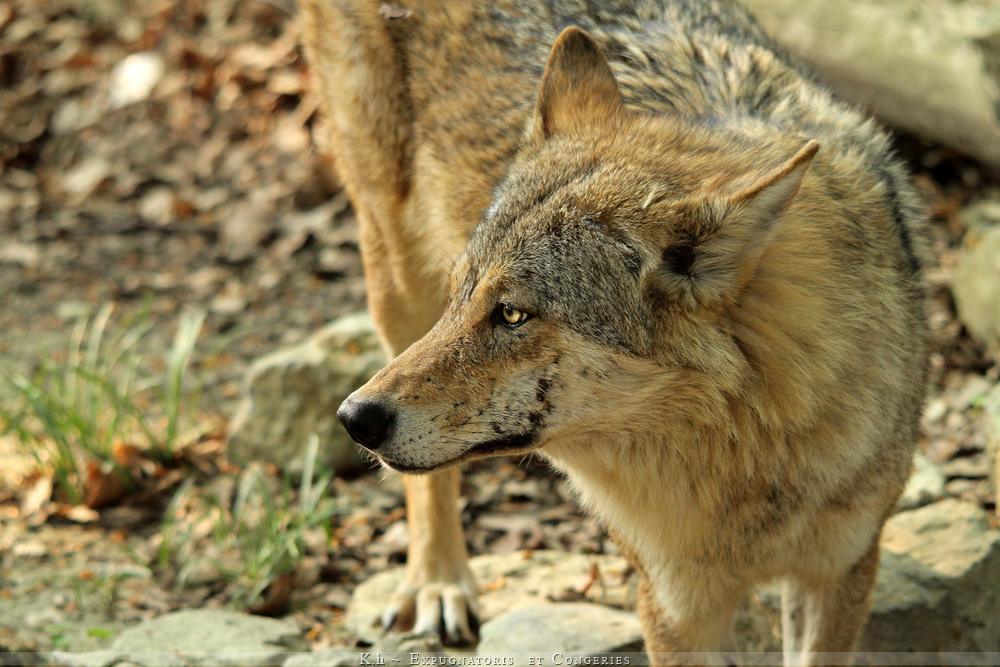 http://fc02.deviantart.net/fs70/f/2011/114/a/9/joker_wolf_by_khevyel-d3eqyiv.jpg
