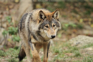 Handsome Wolf by Khalliysgraphy