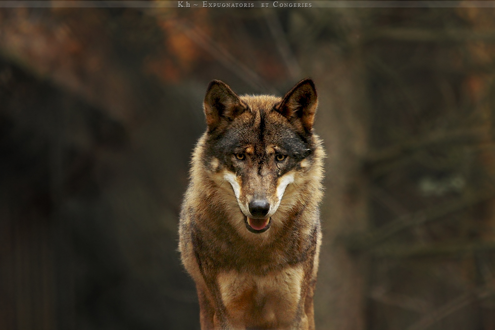 Brown wolf with green eyes