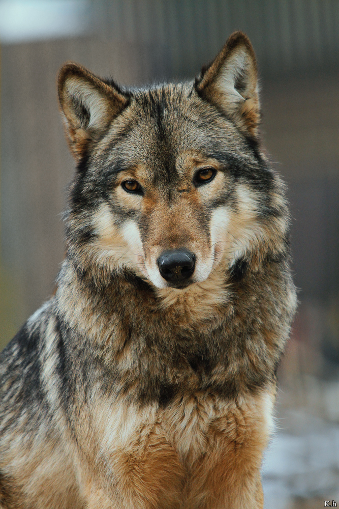 Image result for wolf tumblr
