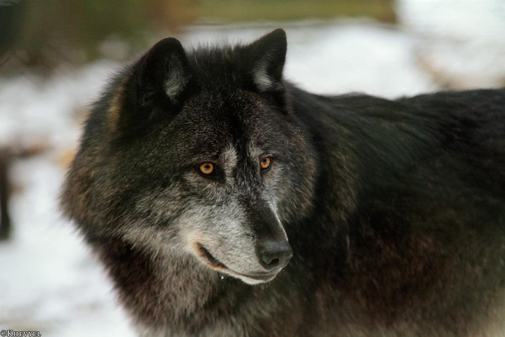 Masked Wolf by Khalliysgraphy