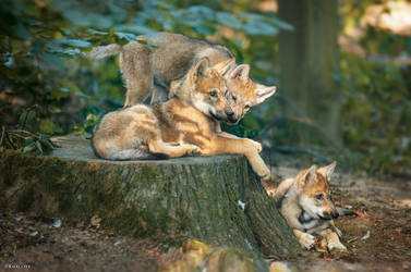 Wolf pups chilling by Khalliysgraphy