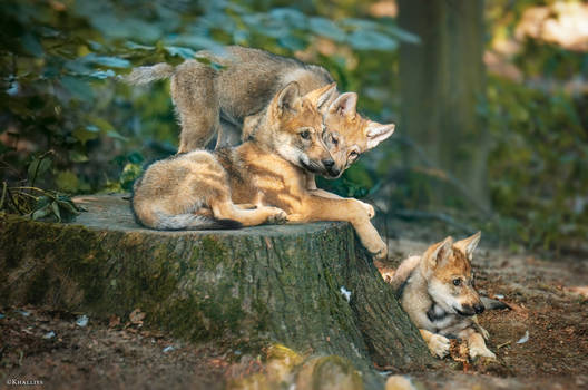 Wolf pups chilling