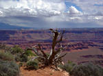 Dead Tree with Canyon and Clouds