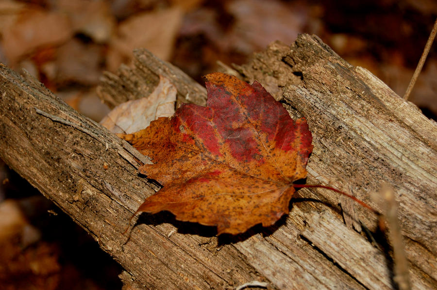 A Colorful Leaf in Autumn by Andrew-Bowermaster