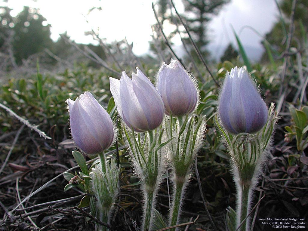 Pasque Flower by zode on deviantART