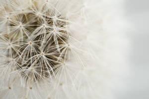Dandelion in white by bheware