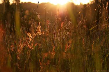 Golden grass by Piasecka