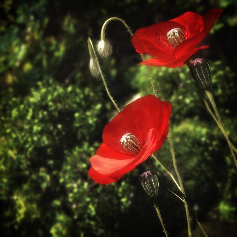 Poppy Exchange by Dave-DK