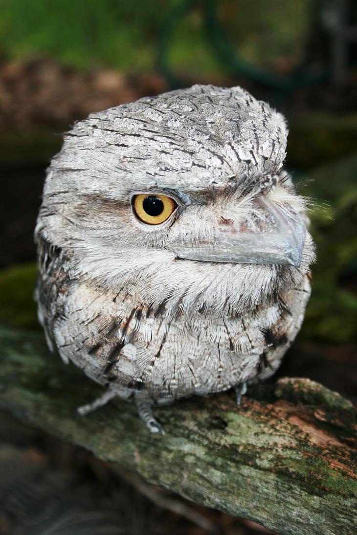 Tawny Frogmouth by shhhhh-art