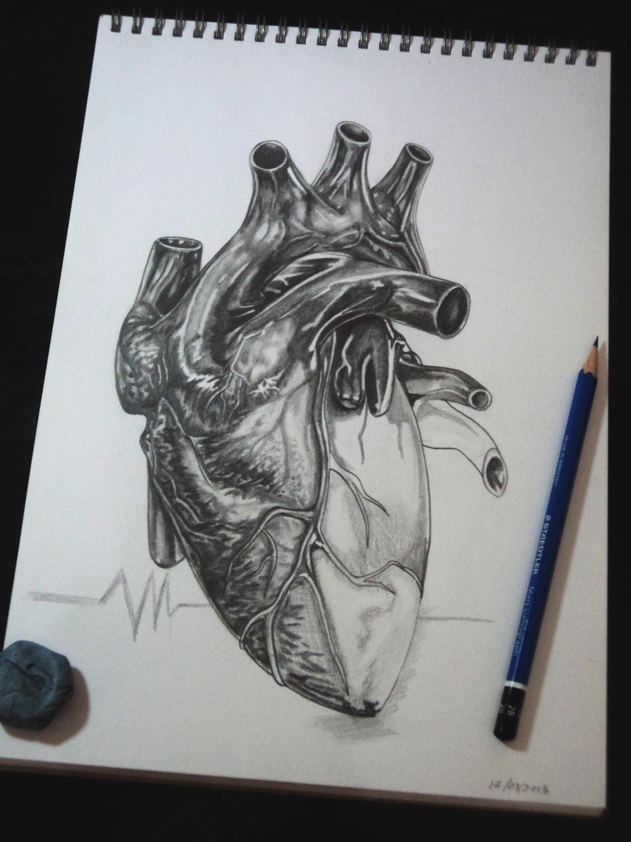Human heart by tubyx on DeviantArt  Realistic