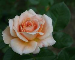 Peach Rose by RikyM