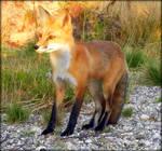 Regal Red Fox