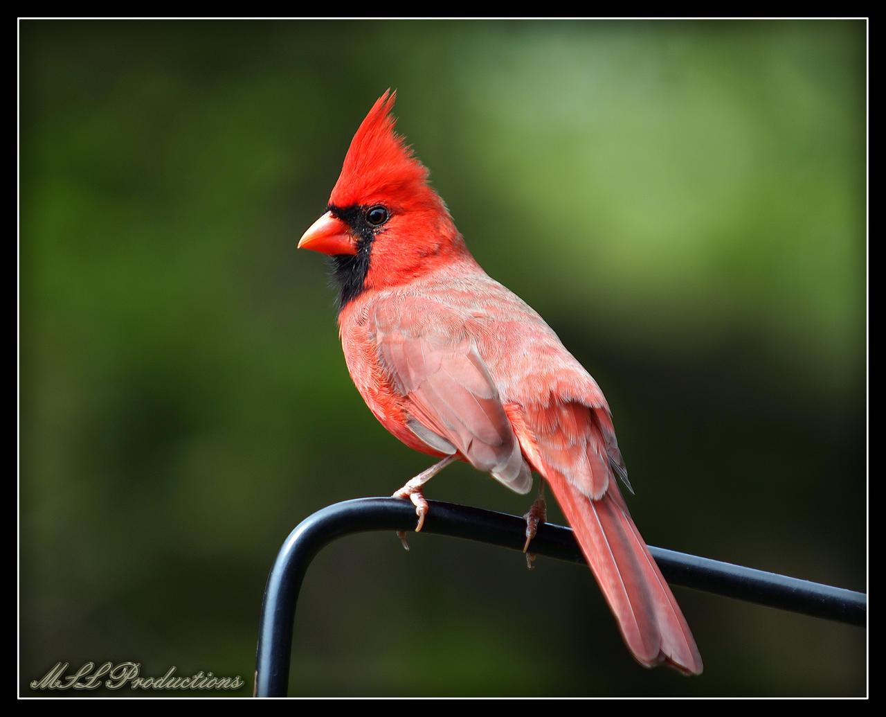 Cardinal by Dracoart