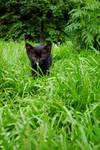 The Black Kitten