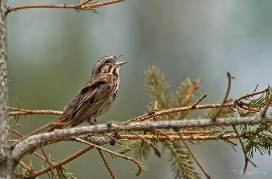 "Song Sparrow...er...""song-ing"" by BirdinByNoon"