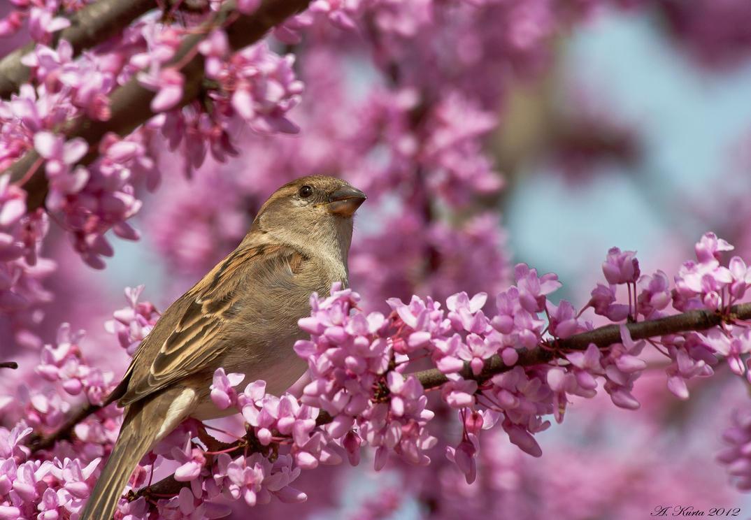 Springtime Sparrow by BirdinByNoon