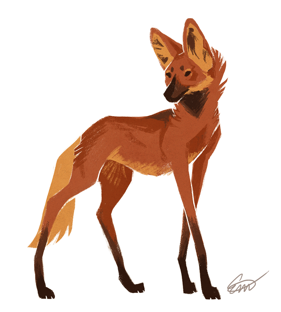 Maned Wolf Drawing