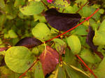 Black leafs on red stalk
