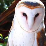 'Painted' Barn Owl